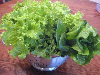 Dog park, garden lettuce 032
