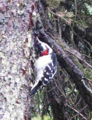 Downy Woodpecker blog2